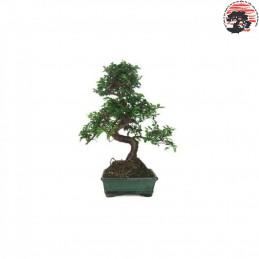 Zelkova parvifolia 6años