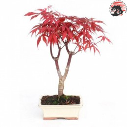 Bonsái Acer palmatum...